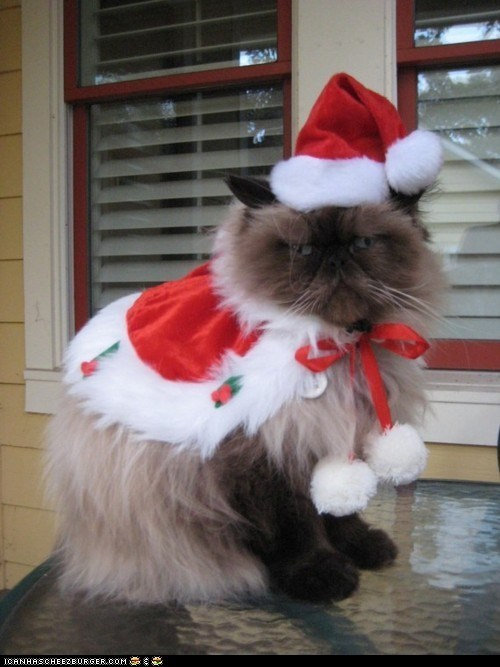 advent calendar,bah humbug,christmas,costume,cyoot kitteh of teh day,dressed up,grumpy,holidays,not happy,santa hats