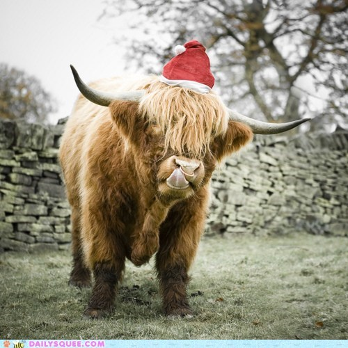 bovine,bull,christmas,costume,cow,dressed up,Hall of Fame,hat,santa hat,twelve squees of christmas