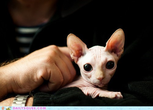 adorable,advantage,cat,hairless,Hall of Fame,sphynx,stare,Staring,tradeoff,wide eyed