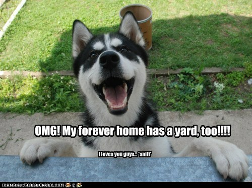 awesome,best of the week,excited,forever home,forever yard,Hall of Fame,happy,husky,puppy,SO HAPPY