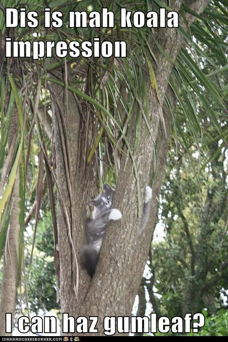 Dis is mah koala impression  I can haz gumleaf?