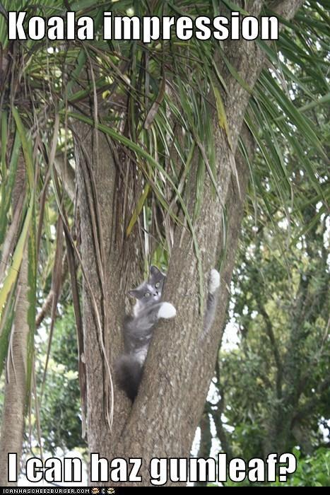 Koala impression  I can haz gumleaf?