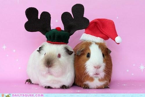antlers,christmas,costume,dressed up,guinea pig,guinea pigs,hat,reindeer,santa