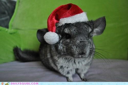 chinchilla,christmas,costume,dressed up,hat,santa,santa hat