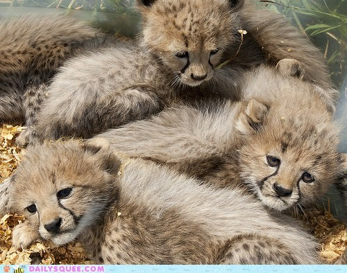 Babies,baby,cheetah,cheetahs,cub,cubs,game,great,greatest,Hall of Fame,jenga,pile,trick question