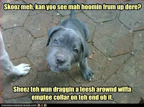 best of the week,excuse me,Hall of Fame,help,human,leash,pardon me,pit bull,pitbull