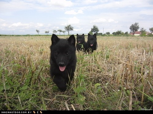 goggie ob teh week,outdoors,parade,puppies,puppy,run,running,schipperke,tongue,tongues out