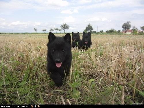 goggie ob teh week,outdoors,parade,puppies,puppy,run,running,schipperke,tongue,tongues out