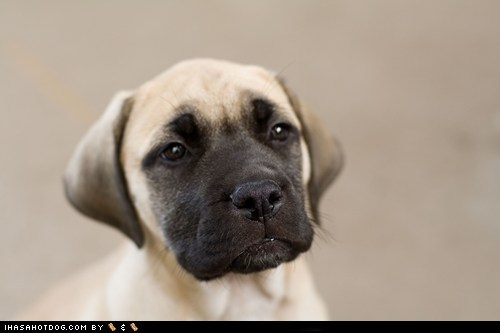 bull mastiff,cyoot puppeh ob teh day,puppy,sweet face