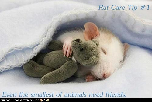 Rat Care Tip #1  Even the smallest of animals need friends.