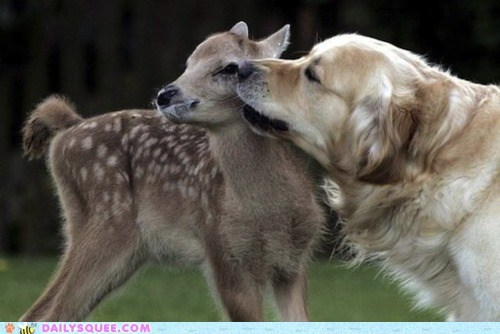cuddling,deer,dogs,fawn,golden retriever,Interspecies Love,lick,licking,nuzzle,nuzzling
