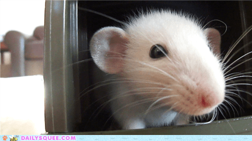 Reader Squees: Snowball the Rattie