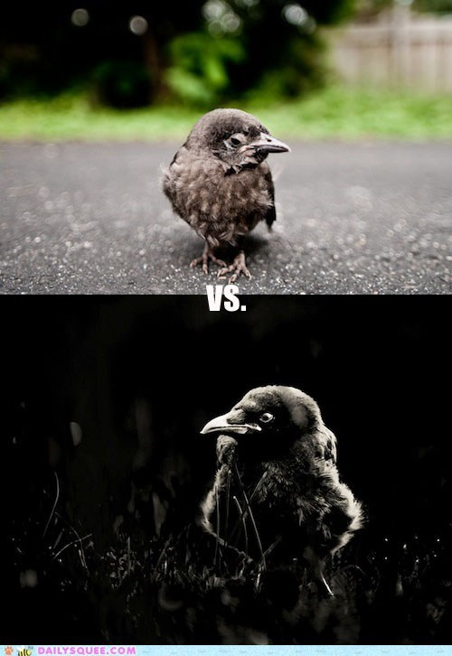 Squee Spree: Crows Vs. Ravens!