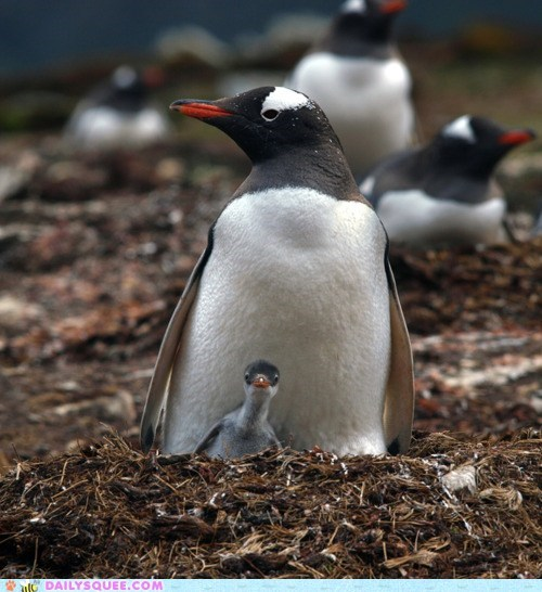 baby,chick,Hall of Fame,parent,penguin,penguins,protection,safe,safety,warm,warmth