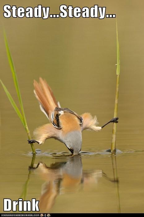 animals,bird,drinking,thirsty,water