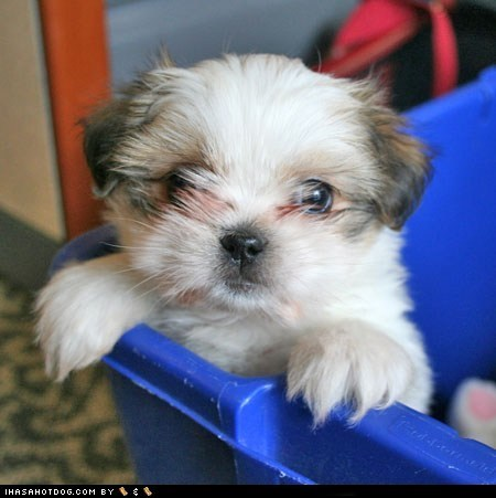 cute face,cyoot puppeh ob teh day,help,puppy,shih tzu,stuck,sweet face
