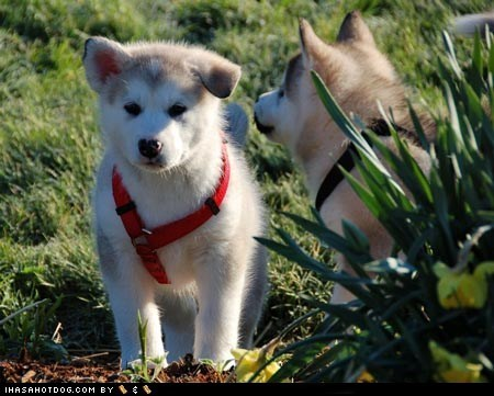 conversation,cute face,cyoot puppeh ob teh day,huskies,husky,outdoors,puppy,sweet face,talking