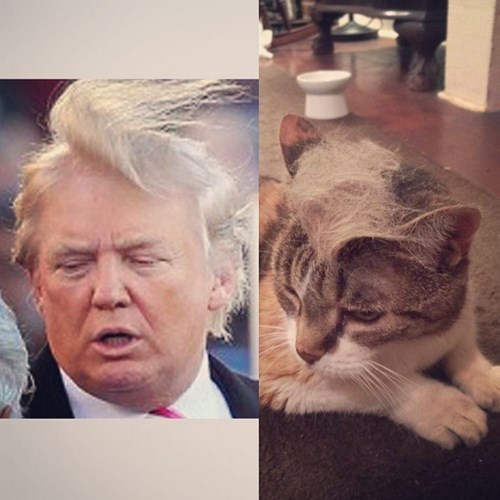 These Cats Are Ready for Election Season 2016 With Their Fabulous New Trump Hairstyles