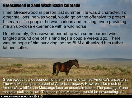 "Greasewood (also known as Davy Greasewood, a.k.a. ""Davy G."")  -- Wild Mustang Stallion of Sand Wash Basin Colorado"
