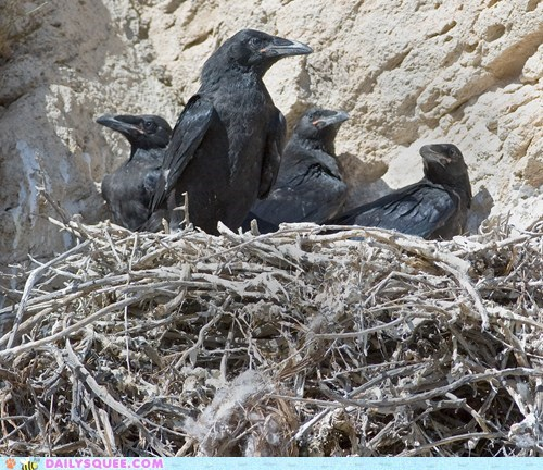 adult,Babies,baby,chick,chicks,mother,parent,raven,ravens,squee spree