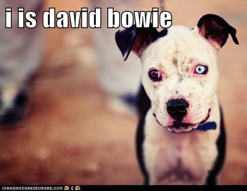 i is david bowie