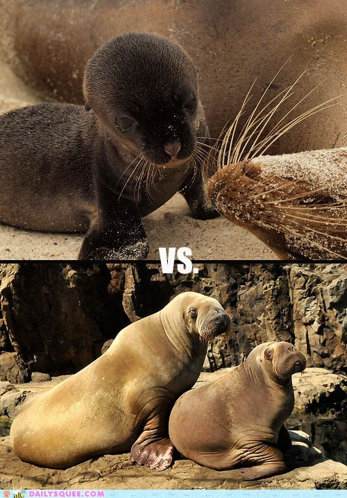 Squee Spree: Sea Lions Vs. Walruses!