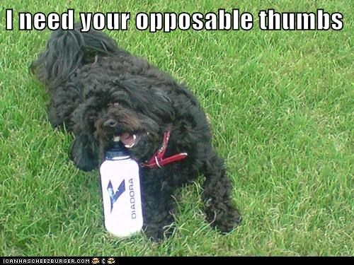 chew,chewing,opposable thumbs,shih tzu,thumbs,waterbottle