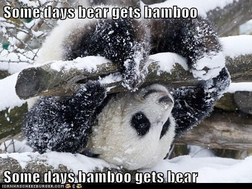 Some days bear gets bamboo  Some days bamboo gets bear