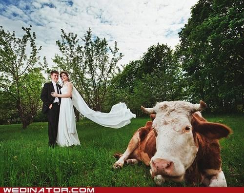 bride,cow,cows,funny wedding photos,groom,pasture