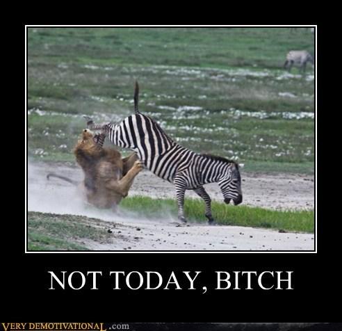 animals,hilarious,lion,not today,wtf,zebra