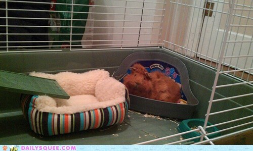 Reader Squees: Guinea Pig Sty