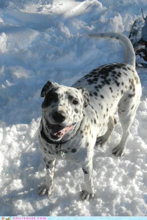dalmatian,dogs,happy,mixed breed,mugshot,mutt,posing,reader squees,snow