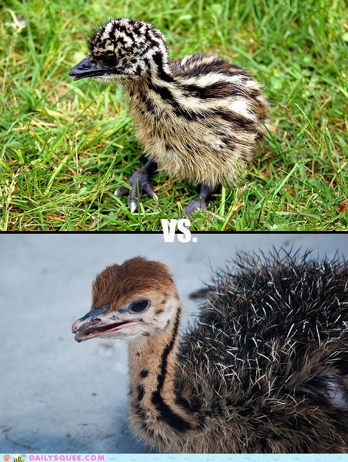 Squee Spree: Emus Vs. Ostriches!