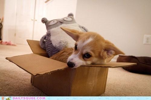 acting like animals,box,challenge,competition,corgi,maru,move over,puppy