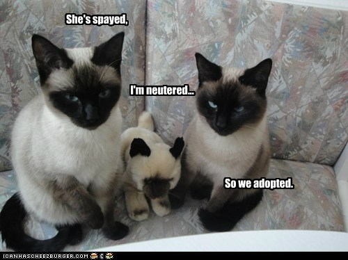 adopted,caption,captioned,cat,Cats,neutered,siamese,so,spayed,stuffed animal