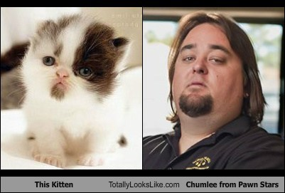 This Kitten Totally Looks Like Chumlee from Pawn Stars
