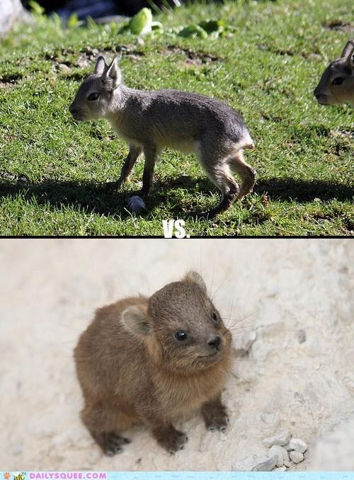 Babies,baby,contest,hyrax,mara,maras,poll,rock hyrax,rock hyraxes,squee spree