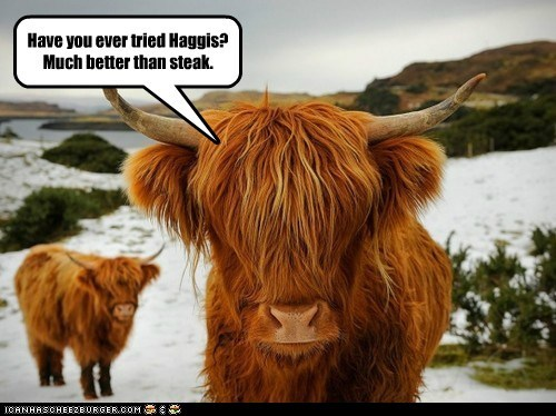 Highland Cows, Number One Supporters to Hagis Appreciation