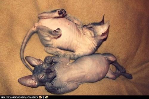 belly,cyoot kitteh of teh day,gross,hairless,nekkid,tummies,two cats,weird