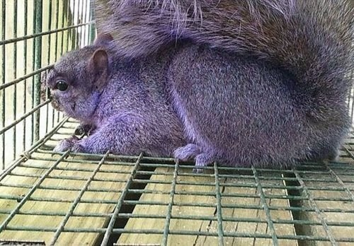 Purple Squirrel of the Day