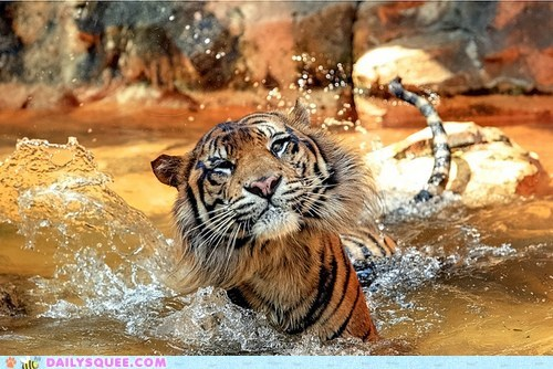 acting like animals,cannonball,change,diving,identical,splash,theme,tiger,water,yarn