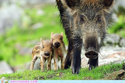 Babies,baby,boar,boars,parent,pun,unbearably squee