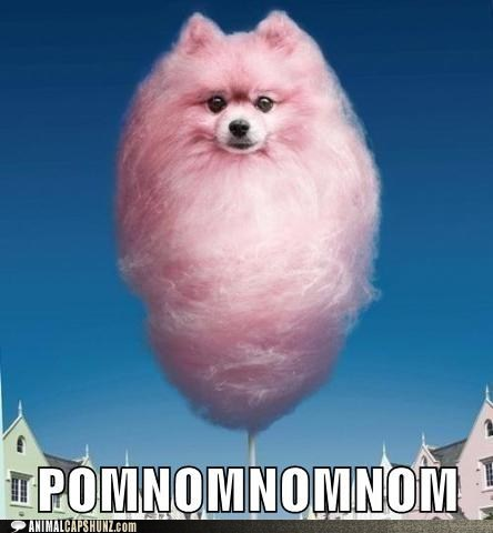 caption contest,cotton candy,nom,photoshopped,pomeranian,what