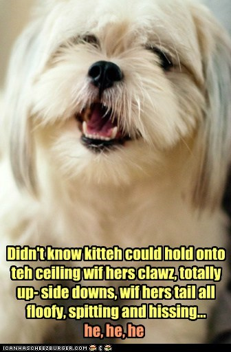 cat,dumb cat,funny cat,haha,happy dog,kitteh,laugh,laughing,scared the cat,shih tzu