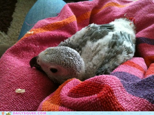 baby,chick,parrot,reader squees,towel