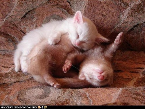 cuddles,cuddling,cyoot kitteh of teh day,ferret,ferrets,Interspecies Love