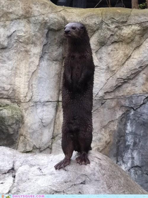 otter,rock,stand,stern,webbed feet