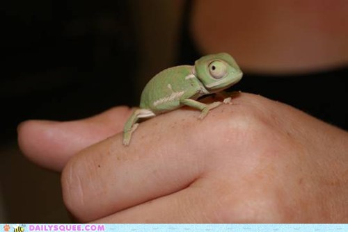 chameleon,contest,lizard,squee spree,vote