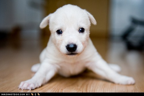 adorable,cute puppy,cyoot puppeh ob the day,fall down,legs,oops,puppy,whatbreed,wobble,wobbly