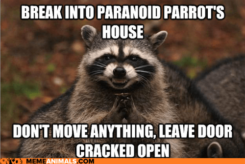break in,evil,evil plotting raccoon,frighten,Memes,paranoid,Paranoid Parrot,parrots,plotting,raccoons,scheming,tricks,trolling